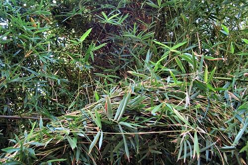 Pseudosasa japonica (rq) - 02