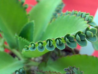 子寶草Bryophyllum crenatodaigremontiana(Bryophyllum laetivirens),英文名Mother of Thousands、Mother of Millions、Devils Backbone、Mexican Hat Plant