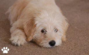 Australian Labradoodle Puppy - Tug