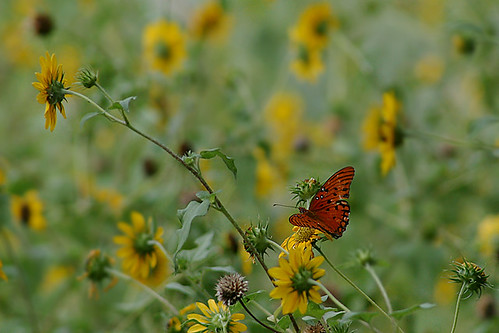 Gulf Fritillary in the Wildflower Garden