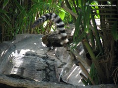 IMG_1366-WDW-DAK-ring-tailed-lemur