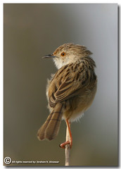 Graceful Prinia (ibrahem N. ALNassar) Tags: bird birds 30 canon eos d n l kuwait usm f56 prinia society graceful ef osk 400mm       ornithological alnassar   specanimal  ibrahem