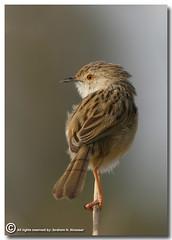 Graceful Prinia (ibrahem N. ALNassar) Tags: bird birds 30 canon eos d n l kuwait usm f56 prinia society graceful ef osk 400mm       ornithological alnassar   specanimal  ibrahem