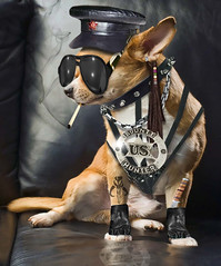 Dog, the Bounty Hunter (Doxieone) Tags: dog chihuahua photoshop costume hunter notmyphoto shutterstock bount