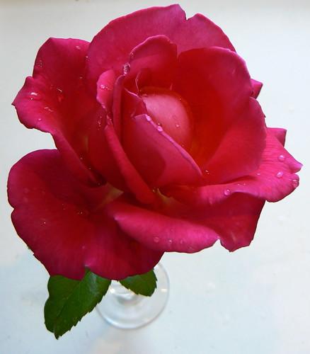 Red rose VI