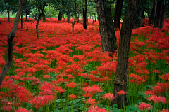 Red Spider Lily Field In Fall (aeschylus18917) Tags: park flowers red flower macro nature japan season 50mm nikon seasons  saitama  hanno lycorisradiata spiderlily  higanbana saitamaken koma potofgold nikkor50mmf14d amaryllidaceae 50mmf14d  lycoris redspiderlily    kinchakuda 50mm14d asparagales saitamaprefecture d700  danielruyle aeschylus18917 danruyle druyle    hann hannshi lycorideae kinchakudapark