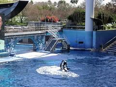 Shamu, Sea World' 09, Orlando - www.meEncantaViajar.com (javierdoren) Tags: show voyage travel bridge flowers usa flores pool animal fauna america fleurs garden palms puente mammal us orla