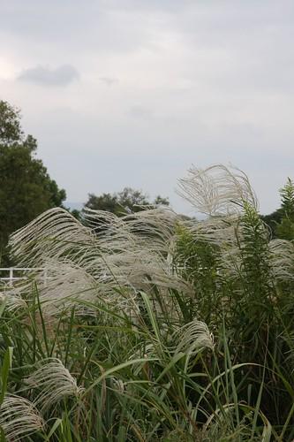 ススキの穂 Japanese pampas grass