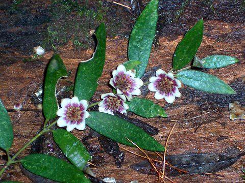 Southern Sassafras, fallen flowers