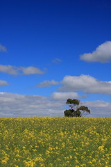 Canola Field /  (kth517) Tags: spring australia  yellowflowers    canolafield bellarinepeninsula victoriastate