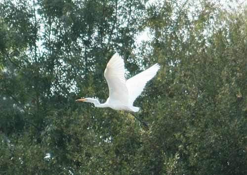 Grande Aigrette / Great White Egret