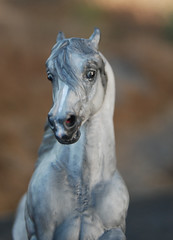 Rival, a Boulonnais Stallion. (jeandiva) Tags: horse stallion drafter boulonnais