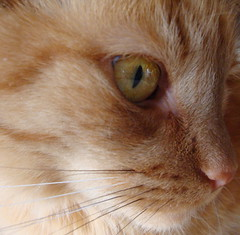 Pipsqueak (JoanneRoukema/Off&On) Tags: orange pet cute eye animal cat nose golden feline kitty whiskers pipsqueak friendsofzeusphoebe