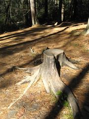 Stump along the trail