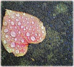 "raindrops ~ looking like joyful tears (© the-best-is-yet-to-come ©) Tags: natur blatt herz regen tropfen badhonnef estremità explorewinnersoftheworld flickrbestpics vosplusbellesphotos ""flickraward"" thebestofmimamorsgroups blinkagain"