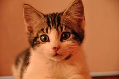 buy a kitten