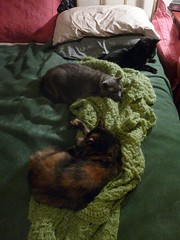 Three Kitties in a Row (Philosopher Queen) Tags: cats evening cozy bed blanket kitties snuggling keepingwarm
