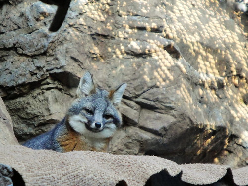 Channel Island Fox at the Coyote Point Museum