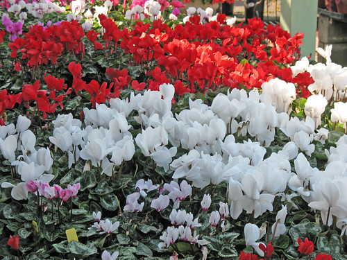 Nothing says Christmas like a dazzzling display of red and white Cyclamen!