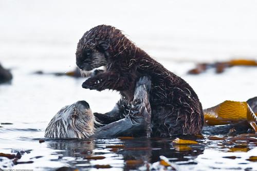 フリー画像| 動物写真| 哺乳類| ラッコ| 親子/家族|       フリー素材|