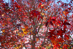Leaf Profusion (AmyKClark!) Tags: autumn trees fall leaves frombelow herowinner