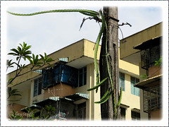 Hylocereus undatus (Dragonfruit, Red Pitaya, Strawberry Pear), climbing 6m high, unchecked on a street lamp post