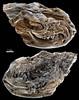 090821-02-Kopidodon macrognathus