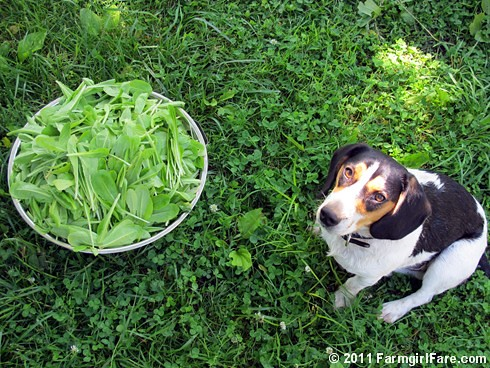 Bert and a big colander of freshly picked lettuce 1