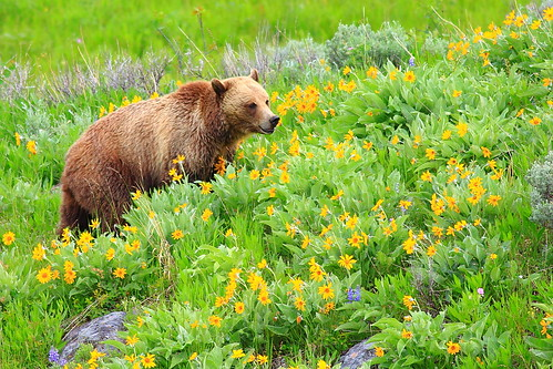 Grizzly Sow at Dunraven Pass by ABenPhoto