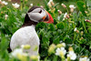 Papageientaucher (grosshans-fotografie) Tags: animal bird england northumberland papageientaucher puffin tier uk vogel
