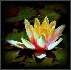 Natural Beauty (dimaruss34) Tags: spring122014 newyork brooklyn dmitriyfomenko image flower waterlily