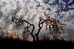 (Maurizio Aresu) Tags: sardegna autumn sky tree fall backlight clouds countryside sardinia cielo albero autunno controluce campidano campagnasarda aremau maurizioaresu