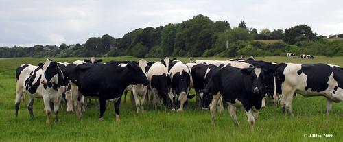 Cattle on the Severn River Estuary Flood Plain