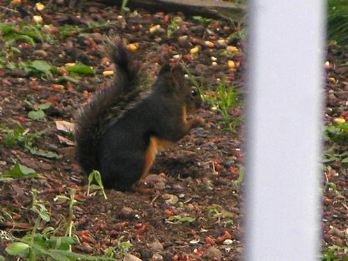 Douglas squirrel feeding