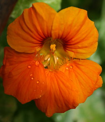 Nasturtium with Raindrops (Misty Jane) Tags: orange plant flower nature garden petal raindrops annual nasturtium tomthumb excellentsflowers natureselegantshots mimamorflowers 100commentgroup flickrflorescloseupmacros panoramafotogrfico thebestofmimamorsgroups platinumbestshot flickrunitedaward