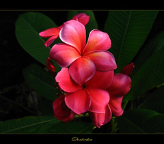 Australian Flowers - The Plumeria Australia (mad plumerian) Tags: flowers canon hawaii florida plumeria australia exotic frangipani rare tropicals unconditionallove tropicalflowers a620 hybrids rareplant landscapephotography rareplants exoticflowers flowersinbloom rareflowers rareplantsflowers hybridflowers capalabapink missperkins