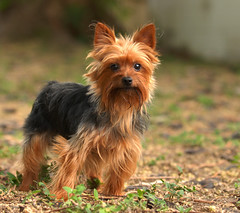 Nate (Michael Skelton) Tags: dog pet yorkie animal puppy backyard friend florida watching hound canine tommy nate papa sarasota curious pup yorkshireterrier companion monoscopic michaelskelton michaeldskelton michaeldskeltonphotography