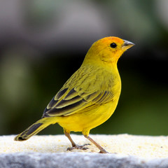 Canrio-da-terra - (Saffron finch) - (Sicalis flaveola) (claudio.marcio2) Tags: bird nature searchthebest wildlife natureza pssaro aves chapeau birdwatching breathtaking oiseaux birdwatcher wonderfulnature thegoldengallery thesecretgarden birdsbirdsbirds wingedwonders natureplus mywinners worldbest shieldofexcellence anawesomeshot ultimateshot nationalgeographicareyougoodenough photosandcalendar birdsarebeautiful farandawaythebest citritgroup ysplix prettynaturephotos theunforgettablepictures theunforgettablepicture eperkeaward naturewatcher concordians theworldsbestnaturewildlifeandmacrophotography betterthangood everydayissunday theperfectphotographer avianphotograph goldstaraward dragongoldaward bestofthebests naturestreasure spiritofphotography birdsinsideandoutside atravsdaminhalentethroughmylens feathersbeaksbirds salveanatureza allthosebirds screamofthephotographer naturespotofgold worldnaturewildlifecloseup planetaterraeseusanimaisincrveis photographersgonewild thewonderfulworldofbirds naturegreenstar naturescreations dragondaggerphot lapetitegalerie ~newenvyofflickr~ dragonflyawardsgroup