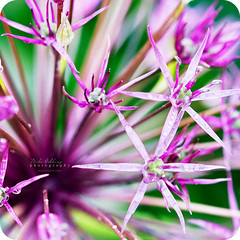 Simply Explosive (Mike Golding) Tags: light flower colour macro water petals close bokeh vibrant explosion naturallight 100mm waterdroplets f4 goldengarden prple bokehlicious