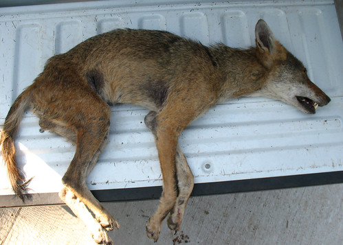 injured coyote 3