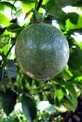 Passiflora edulis (rq) - 03