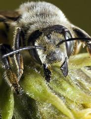 Bee Bite (Emery O) Tags: macro wisconsin canon biting bee bumblebee pollen 180mm 50d macrolife