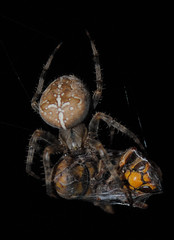 Feast (Darren Edwards Photography) Tags: hairy darren animals dinner dead photography spider photo wasp image time photos spiders eating bees web insects hungry capture edwards deadly lastbreath macromarvels darrenedwards nikond3000 darrenedwardsphotography