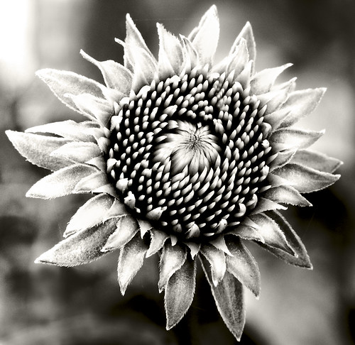 Becoming Echinacea 2