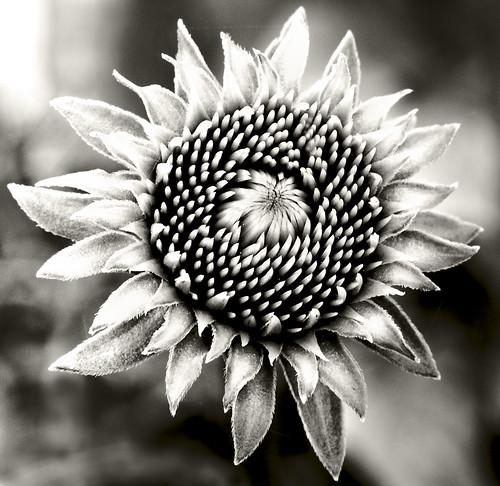 Becoming Echinacea 2