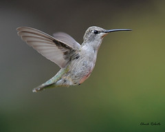 Broad-tailed Hummingbird immature (colorob) Tags: birds colorado littleton broadtailedhummingbird selasphorusplatycercus coloradowildlife colorob