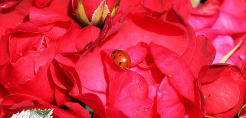 7 Spot Ladybird
