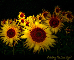 Catching the last light (haikus*) Tags: light sunflowers legacy tistheseason fantasticflower fbdg goldstaraward excellentsflowers damniwishidtakenthat awesomeblossoms artistictreasurechest miasbest capturethefinest platinumpeaceaward daarklands flickrvault selectbestfavorites selectbestexcellence sailsevenseas trolledproud sbfmasterpiece