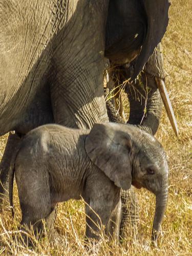 Elephant and newborn, Maasai Mara, Kenya