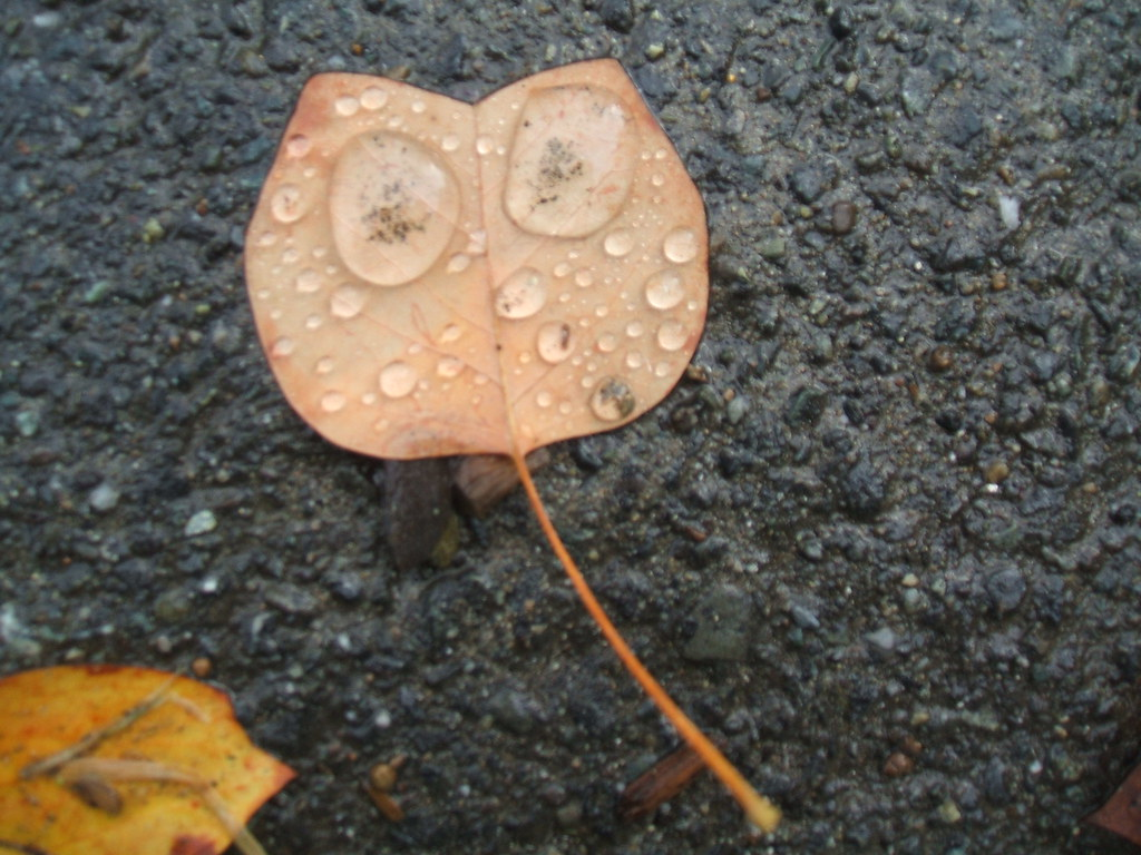 Owlish leaf